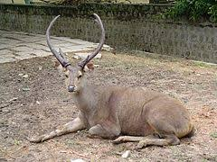 When Do Whitetails Shed Their Antlers by Antler Wikipedia