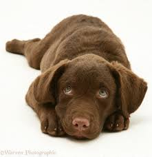 Chesapeake Bay Retriever Shed Hunting by Dog Lovers Blog Page 35 Of 39 Pet Paw
