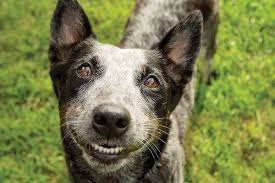 facts on the blue heeler dog breed