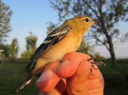 Long Point Bird Observatory Prairie Birder
