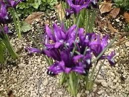 iris bulbs irises blooming in the garden iris iris bulbs for