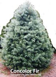 Christmas Tree Species Usa by Christmas Tree Varieties Photos And Information To Choose The