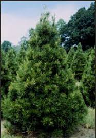 Christmas Trees Types by Know The Christmas Tree Types In Northwest Arkansas