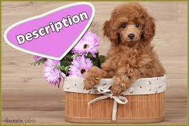 Small Non Shedding Dogs For Seniors by Facts About The Teddy Bear Dog Breed That U0027ll Make You Go Aww