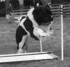 Do Newfoundlands Shed Hair by Newfoundland Dog Facts U2013 The Versatility Of The Gentle Giants Will