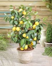 lemon to be planted in existing barrel with citrus potting