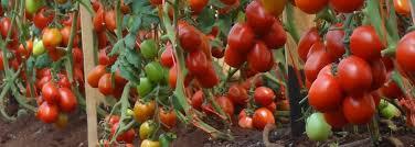 Types Of Pumpkins Grown In Uganda by Easeed Co Ltd Home