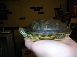 Turtle Shell Not Shedding by Redearslider Com View Topic My Turtle Is Not Shedding