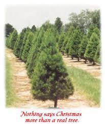 Christmas Tree Types Canada by Florida Christmas Tree Association