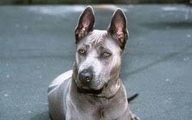Irish Wolfhound Non Shedding by Irish Wolfhound Breed Information