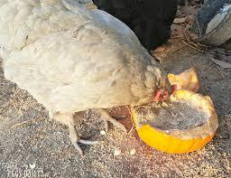 Fresh Pumpkin For Dog Diarrhea by Using Pumpkins Garlic U0026 Nasturtium For Worming Chickens Fresh