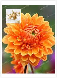 aliexpress buy true orange dahlia bulbs flower not dahlia