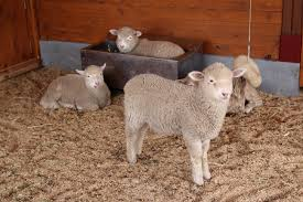 Free Stock Photo Of Cute Lambs In A Barn - Public Domain Photo ... 37 Best Goats Images On Pinterest Goat Shelter Farm Animals Clipart Bnyard Animals In A Barn Royalty Free Vector 927 Campagne Ferme Country Living All Men Are Enemiesall Comradesall Equal Pioneer George Washingtons Mount Vernon Nature Trees Fences Birds Fog Mist Deer Barn Farm Competion Farmer Bens Hog Blog Stories Of And Family Stock Horse Designs Learn Names Sounds Vegetables With Jobis Animal Inside Another Idea To Do It Without The Mezzanine But Milking Cows The Cow Milk Dairy Cowshed Video Maine Archives Flavorful Journeys