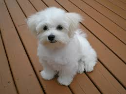 Lhasa Apso Poodle Mix Shedding by Maltese Dog Breed Wikipedia
