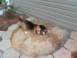 Do Treeing Walker Coonhounds Shed by Best 25 Dog Backyard Ideas On Pinterest Garden Makeover