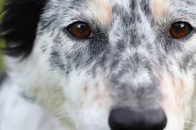 Sometimes The Retinal Folds Disappear As A Mildly Affected Dog Gets Older Less Often Result From Puppies In Utero With Parvovirus