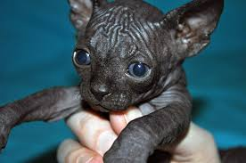 hairless cat price learn more about black sphynx cat