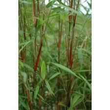 bambou en pot bambou poussant en pot ou en jardinière