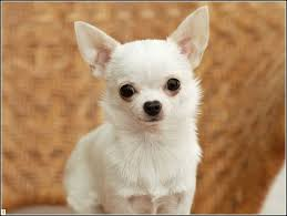Low Shedding Small Dogs by 100 Cutest Non Shedding Small Dogs The Good The Bad The
