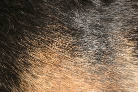 Do All Dogs Shed Their Fur by Why Do Some Dogs Have Hair And Not Fur Why Do Dogs
