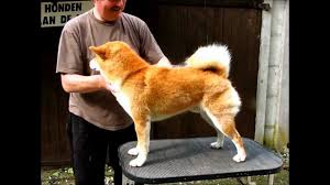 do shiba inus shed hair shibas and shedding