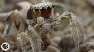 Remains Of The Day Spiders by For These Tiny Spiders It U0027s Sing Or Get Served Deep Look Kqed