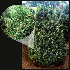 Christmas Tree Types by Skyline Christmas Tree Farm Types Of Trees
