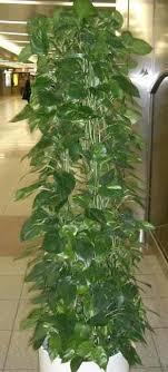 efeutute richtig pflegen pflanzenfreunde