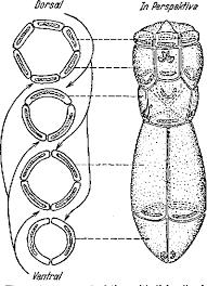 1 Arrangement Of The Epithelial Ceils A Liver Fluke Miracidium