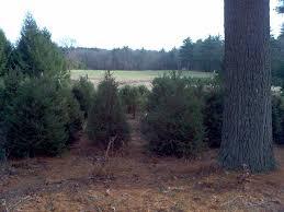 Dills Pumpkin Patch Columbus Ohio by Keith U0027s Farm Acushnet Ma Holiday Christmas Trees Spruce Evergreen