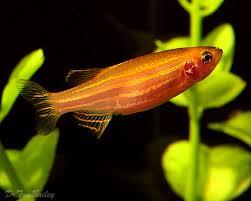 poisson eau douce aquarium tropical gold danio poissons poisson eau douce poissons et