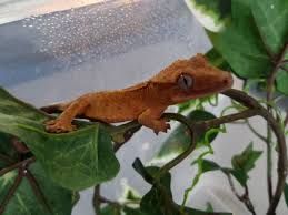 Crested Gecko Shedding Info by Unsexed Crested Gecko Telford Shropshire Pets4homes