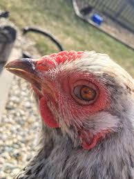 Blind Chicken