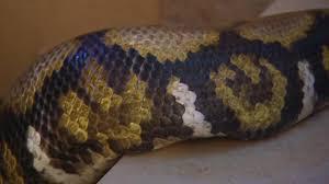 wildes wohnzimmer python im treppenhaus