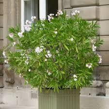 laurier fleurs blanches vente laurier fleurs