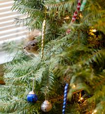 Stew Leonards Christmas Trees by There Is Still A Squirrel In My Christmas Tree Pics