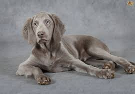 Do Hungarian Wirehaired Vizslas Shed by Weimaraner Dog Breed Information Buying Advice Photos And Facts