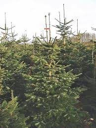 Nordmann Fir Christmas Trees Are Becoming Popular On California Farms Because They Have Rich Color