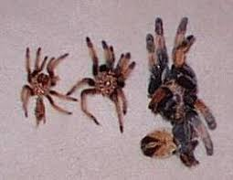 how do spiders grow moulting and regeneration
