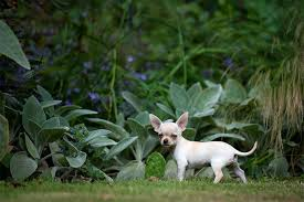Dogs That Shed The Most Least by Chihuahua Dog Breed Information Pictures Characteristics U0026 Facts
