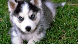 cute non shedding dogscute list of hypoallergenic dogs with