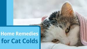 cat runny nose cat cold remedies remedies for cat sneezing and runny nose petmd