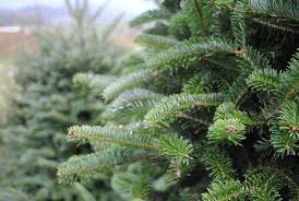 Silver Tip Christmas Tree Oregon by Selection And Care Of Christmas Trees Almost Perfect Landscaping