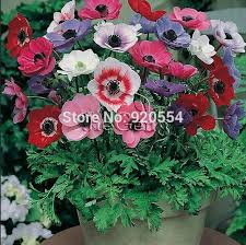 aliexpress buy imported bulbs 3pcs lot anemone bulbs flower