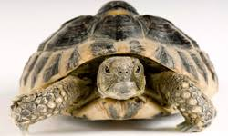 Turtle Shell Not Shedding Properly by Turtle Scutes And Shedding Howstuffworks