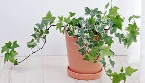 pflanzen fürs schlafzimmer efeu efeu fürs pflanzen