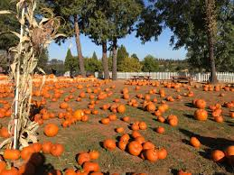 Apple Hill Pumpkin Patches Ca by These 7 Norcal Pumpkin Patches Will Make You Enjoy Fall