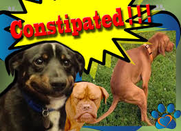 Dog Constipation Pumpkin by My Dog Is Constipated Symptom Signs And Treatment Youtube