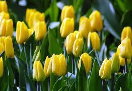 bulbs triumph yellow flight
