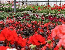 fleur et plante du lac fleurs et plantes du lac fleuriste rue tuilerie 74330 épagny